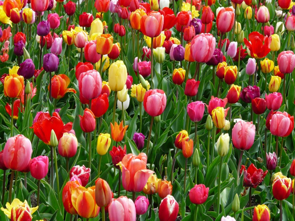 tulips-bed-colorful-color-69776
